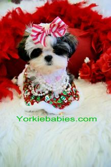 TEACUP PUPPIES, SHIH TZU PUPPIES