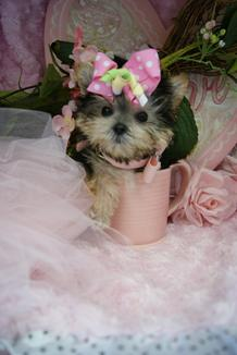 TEACUP PUPPIES, DESIGNER MIXED BREED PUPPIES, MORKIES FOR SALE