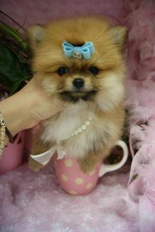 TEACUP POMERANIANS, POMERANIANS FOR SALE