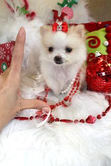 POMERANIANS FOR SALE, TEACUP POMERANIANS, TEACUP PUPPIES
