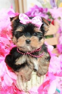 TEACUP PUPPIES, TEACUP YORKIES IN ILLINOIS