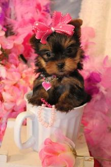 Teacup Yorkie For Sale Houston Tx