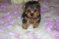 Teacup Yorkies Maltese Need Special Care