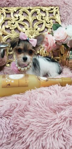 Morkie |Teacup Morkie| Morkie Puppies for Sale |Maltipoo | Malshi