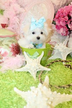 Maltese,Maltese teacup, teacup puppies,teacup maltese