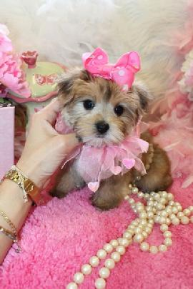 GOLD MORKIE PUPPIES FOR SALE IN FLORIDA