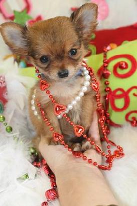 FINANCING FOR CHIHUAHUA PUPPIES AT YORKIEBABIES.COM