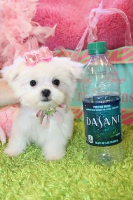 TEACUP MALTESE PUPPIES AT YORKIEBABIES.COM