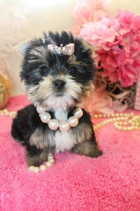 YORKIEBABIES.COM FINANCING FOR MORKIE PUPPIES