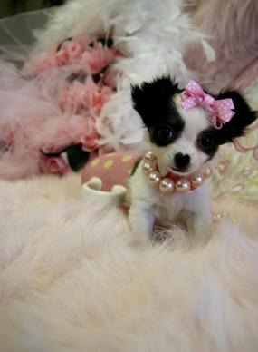 Elegant Teacup Chihuahua  Teacup Chihuahua Puppies for Sale