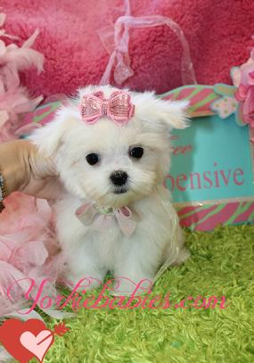 FINANCING FOR MALTESE PUPPIES