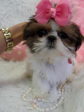 TEACUP SHIH TZU PUPPIES YORKIEBABIES.COM