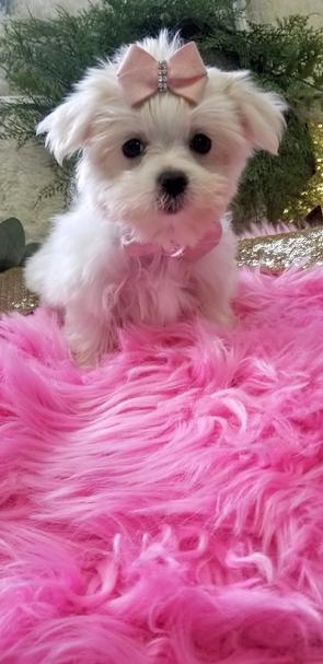 MALTESE,MALTESES,YORKIEBABIES,PUPPIES,MALTESEPUPPIES