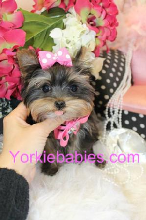Teacup Puppies for Sale, Teacup Puppies Biting, Teacup Puppy Training