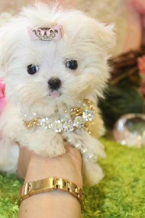 Teacup Yorkie Dog White