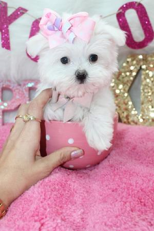 MALTESE, MALTESES, MALTESE PUPPIES