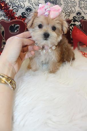 MORKIE, MORKIES, MORKIE FOR SALE, TEACUP MORKIE, PUPPIES, DOGS,PUPPYS