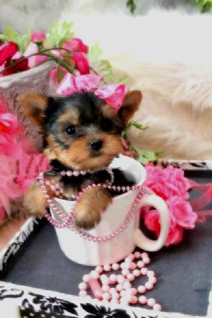 TEACUP YORKIE PUPPIES FOR SALE AT YORKIEBABIES.COM
