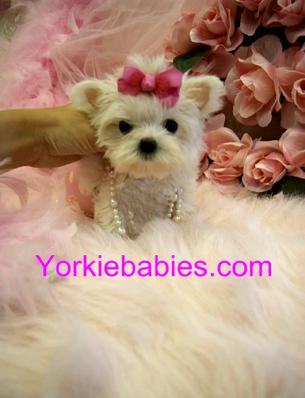 TEACUP MALTESE, MALTESE PUPPIES FOR SALE, TEACUP MALTESE FOR SALE AT YORKIEBABIES.COM