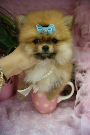 TEACUP PUPPIES, TEACUP POMERANIANS, TEACUP PUPPIES FOR SALE