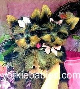 Teacup Puppies for Sale, Teacup Puppies, Micro Teacups, Tiny TeaCup