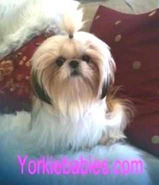 miniature shih tzu full grown shih tzu puppies teacup shih tzu shih tzu for sale 8521