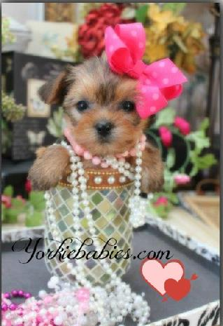 YORKIEBABIES.COM Tiny Teacup Yorkie Puppies, Teacup Yorkie, Teacup Yorkies for Sale, Micro Yorkies