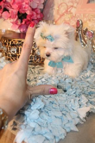 TEACUP MALTESE, TEACUP MALTESE PUPPIES, MALTESE FOR SALE AT YORKIEBABIES.COM