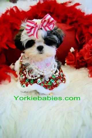 TEACUP SHIH TZU PUPPIES, TINY SHIH TZU PUPPIES MIAMI , TEACUP PUPPIES AT YORKIEBABIES.COM