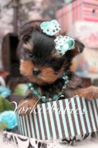 YORKIEBABIES.COM ELEGANT TEACUP YORKIES FOR SALE IN FLORIDA