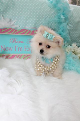 Elegant Teacup Pomeranians Pomeranian Puppies For
