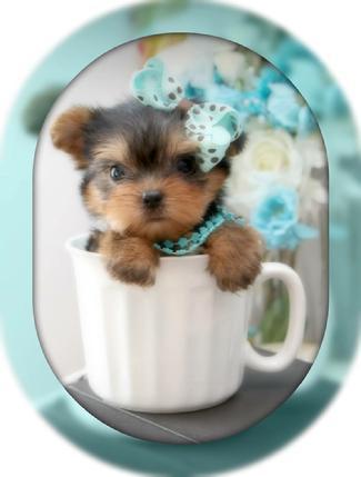 Teacup Yorkie, Teacup Yorkies, Yorkies for Sale, Micro, Teacup