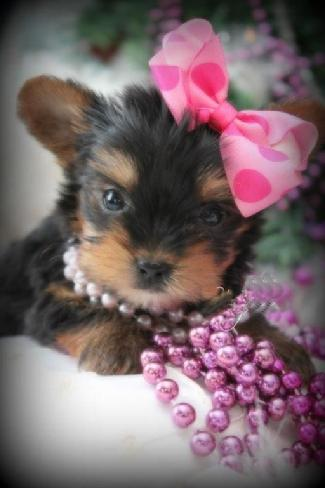 YORKIEBABIES.COM TINY TEACUP YORKIES, MICRO YORKIES, YORKIES FOR SALE, TEACUP YORKIE FOR SALE IN FLORIDA