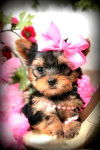ELEGANT TEACUP YORKIE PUPPIES FOR SALE AT YORKIEBABIES.COM