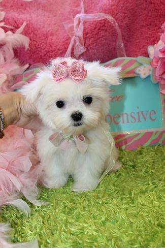 Teacup Maltese, Teacup Maltese for Sale, Maltese Puppies, Tiny