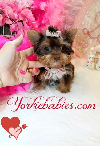 YORKIEBABIES.COM CHOCOLATE YORKIES