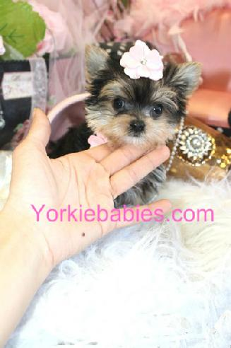 teacup maltese/yorkie, teacup maltese/yorkie for sale, teacup maltese/yorkie for sale south Florida, teacup maltese/yorkshire terrier puppies, teacup maltese/yorkshire terrier puppies south Florida, toy maltese/yorkie, Maltese/yorkie puppy, Micro Maltese/yorkie, Pocket maltese/yorkie, morkie, morkie puppies for sale, morkie puppies for sale in Florida, designer puppies for sale