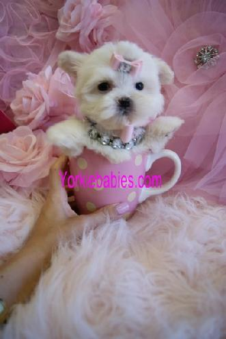 TEACUP PUPPIES YORKIEBABIES.COM