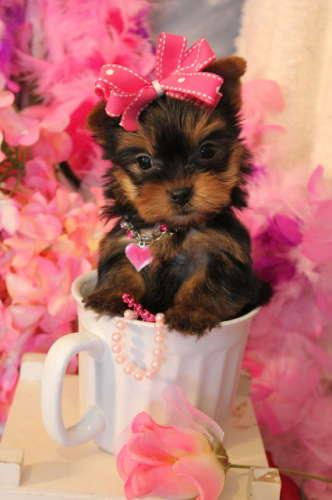 TEACUP YORKIE, TEACUP YORKIES, TEACUP PUPPIES YORKIEBABIES.COM