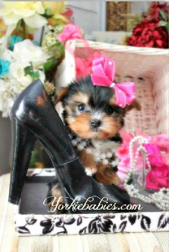 YORKIEBABIES.COM TEACUP YORKIE, TEACUP YORKIE PUPPIES, TEACUP YORKIES FOR SALE