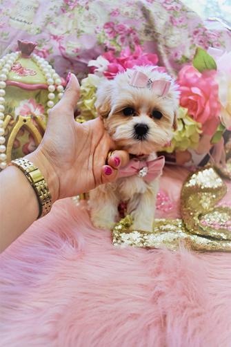 Morkie |Teacup Morkie| Morkie Puppies for Sale |Maltipoo