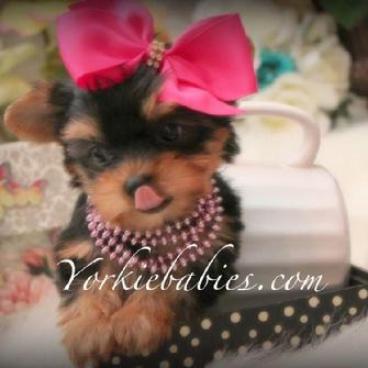 FINANCING FOR YORKIE PUPPIES