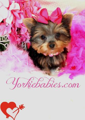 MICRO TEACUP YORKIES AT YORKIEBABIES.COM
