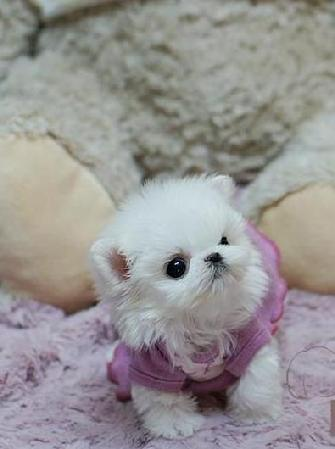 YORKIEBABIES.COM ELEGANT TEACUP MALTESE, TEACUP MALTESE PUPPIES, TEACUP MALTESE IN FLORIDA, TEACUP MALTESE FOR SALE IN FLORIDA