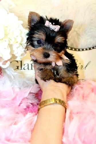 YORKIE, YORKIES, YORKIE FOR SALE, PUPPIES FOR SALE, YORKIE PUPPIES FOR SALE, YORKIES FOR SALE, YORKIE FOR SALE