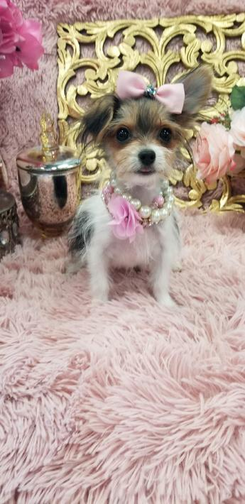MORKIE,MORKIES,morkiepuppies, puppies, yorkiebabies, teacup puppies, teacuppuppystore, florida, dogs, dog, puppiesfor sale, morkiesforsale