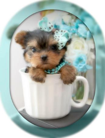 Teacup Yorkies for Sale | Tea Cup | Breeder | Puppies |Micro