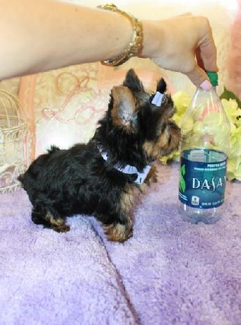 YORKIEBABIES.COM FOR TINY MICRO YORKIES