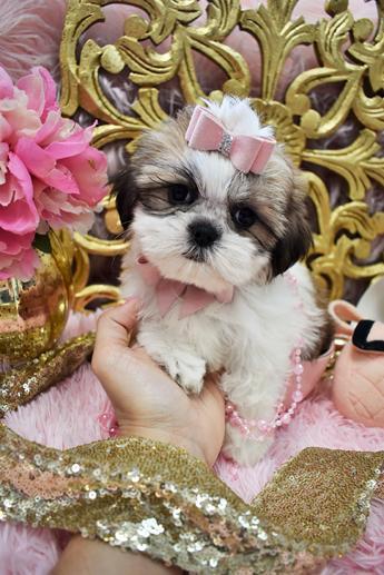 Shih Tzu Puppies Teacup Shih Tzu Shih Tzu For Sale Breeder