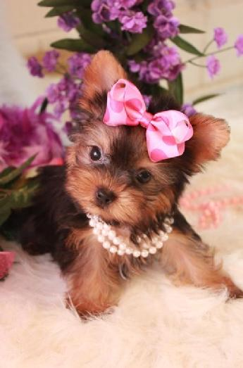 Teacup Yorkie, Teacup Yorkie Puppy, Yorkies for sale, Yorkie For Sale, Yorkie Puppy for Sale, Yorkshire Terrier, Teacup Yorkie for sale, Teacup Yorkies South Florida.    Yorkies for sale , teacup yorkies for sale